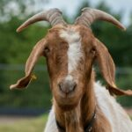 Police arrested a 25-year-old man for having sex with a goat in Jigawa